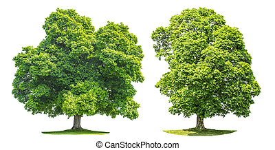 Green maple tree isolated on white background Nature object