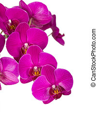 Violet orchid flowers, isolated on white Floral background