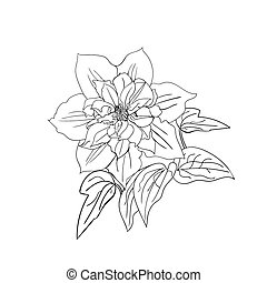 Terry flower clematis sketch. Black outline on white...