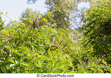 Red-backed Shrike - Red-backed shrike on the lookout stands...