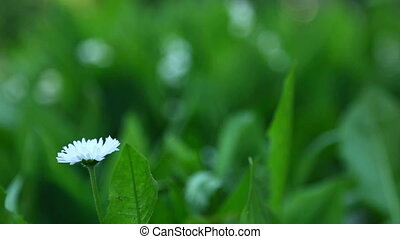 Daisy and lily of the valley, rack focus - from foreground...