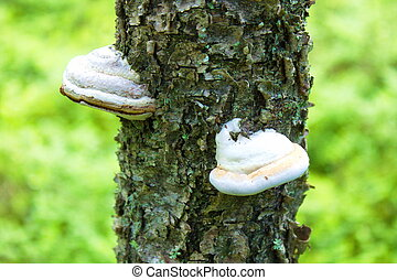 tinder fungus on tree in nature landscape