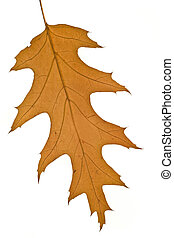 Fall. Yellow maple leaf Isolated