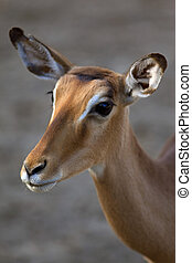 Doe - Head of a young doe in a park