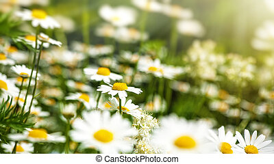 Beauty daisy flowers on the meadow, natural backgrounds