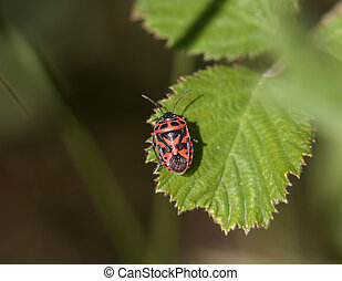 Ornate Shield Bug - Adult Red and black Ornate Shield Bug...