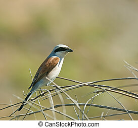Red-backed Shrike - Adult male Red-backed Shrike on Lesvos,...
