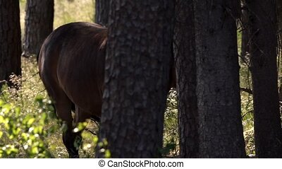 Exmoor-Pony in forest