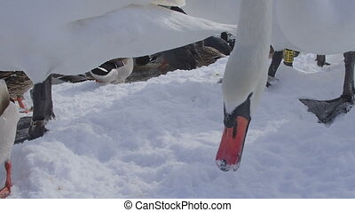 Swan eating bread crumbs - Mute swan close up (Cygnus olor),...