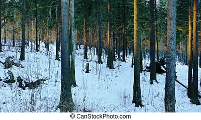 Woman Walks Through Winter Forest in a Sunny Day -...