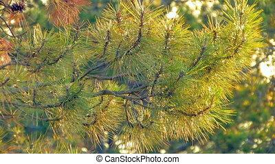 HD spruce green pine branch moving