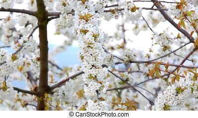 Cherry tree with flowers - Branches with spring flowers on a...