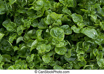 Watercress cropping