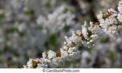Cherry tree with flowers - Branch with spring flowers on a...