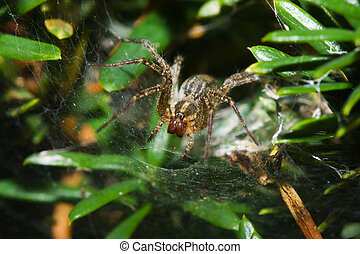 Garden Orb Spider.