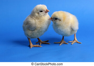 cute baby chick