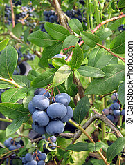BLUEBERRY BUSH - close up close up ripe berries of a...