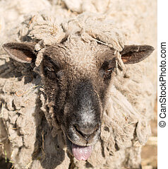 Portrait of funny sheep in a pasture