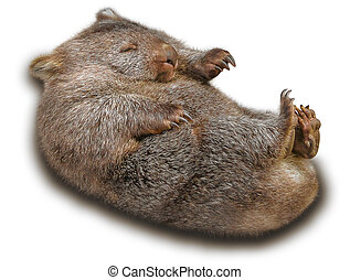 Wombat - Sweet and tender wombat in marsupial position ....