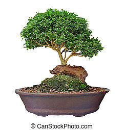 bonsai tree on white background