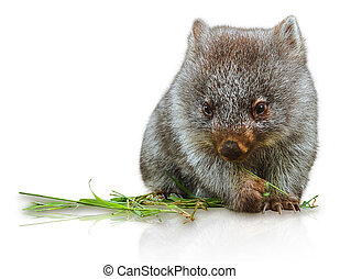 Little Wombat - Little wombat female 3 months. Isolated on...