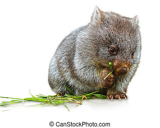 Wombat eating - Little wombat female 3 months. Isolated on...