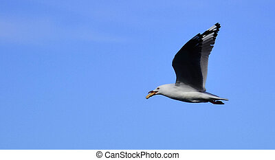 Seagull in flight - Seagull flying through the sky on a...