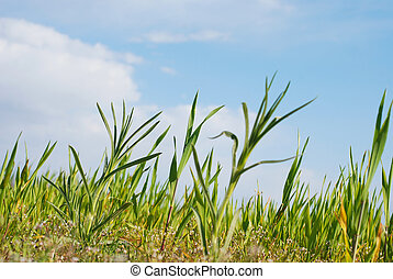 young corn growing - Picture of a young corn growing on a...