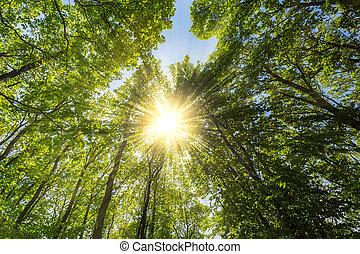 Evening sun shining explosive through treetop in a spring...