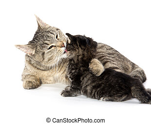Female tabby cat and kitten - Female mother tabby cat with...