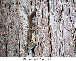 Fkying squirrel on a tree - A flying squirrel clings to a...