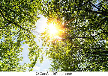 spring sun shining through the treetop with blue sky - A...