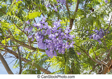 Jacaranda tree flowers