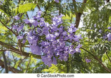 Jacaranda, árbol, flores,