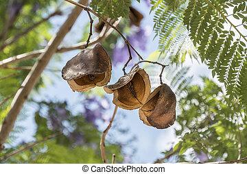 Jacaranda, árbol, vainas, semillas,