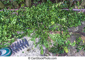 Aerial view cutted green boxwood branches Buxus sempervirens...