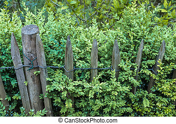 Aged wooden picket fence green boxwood Buxus sempervirens...