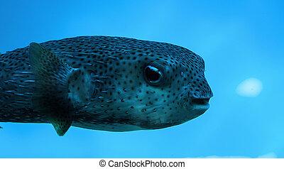 Blowfish - Beautiful salt water blowfish of the caribbean...