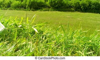green grass in a wind in the field