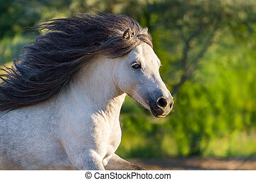 Pony stallion portrait in motion