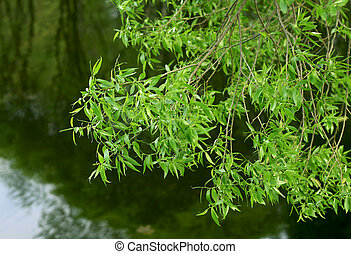 branch of willow tree - branch of willow on water background...