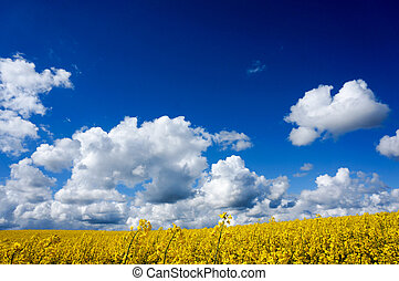 canola field - Canola field with canola oilseed and yellow...