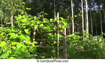 grape creeper plant - Grape creeper plant grow on wooden...