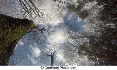 tree trunk sky cloud - Forest mossy tree trunks and tops on...