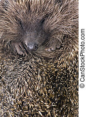 hedgehoge male adult close up