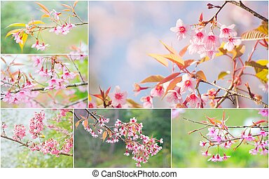 Cherry Blossom and sakura - Collection of cherry blossom and...