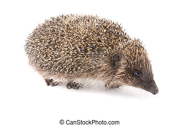 hedgehoge male adult isolated on white