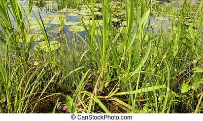 Lake Shore. Panorama. - Plants on the lake closeup....
