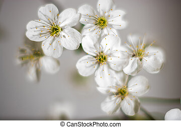 White flowers - Cherry blossoms branch Filmed closeup