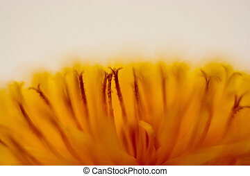 Dandelion flower closeup - Macro of a dandelion flower on a...